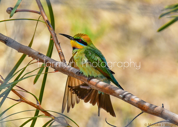 Harmoni Photography Rainbow Bee Eaters