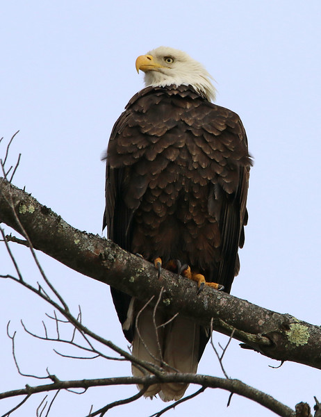 bald eagle maine 3.jpg