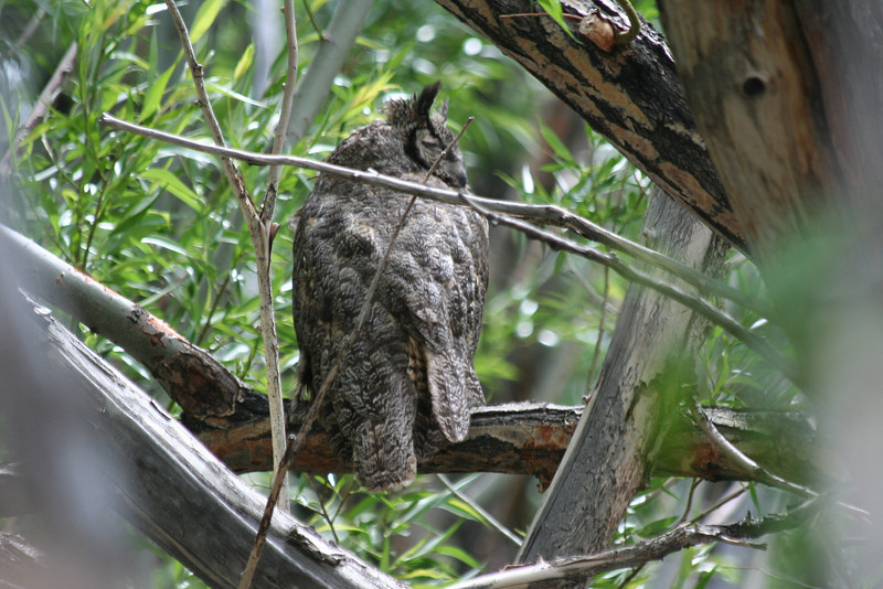 """great horned  """"wowl"""""""