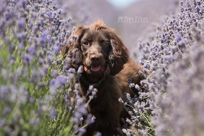 Archie - Lavender