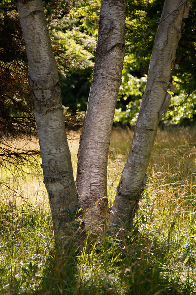 _I0A2943 birch tree in front of house.jpg