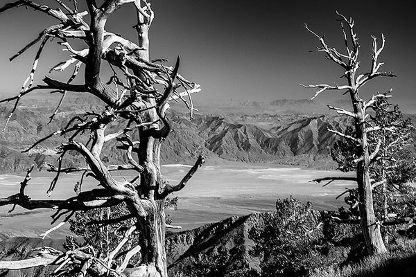 Limber Pines Death Valley copy.jpg