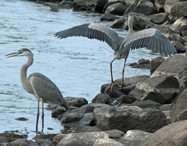 2 great blue herons