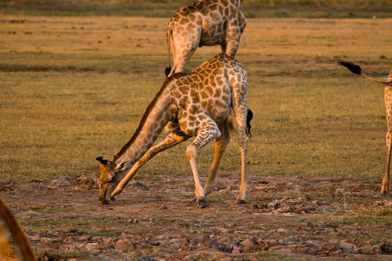 giraffe (4).jpg