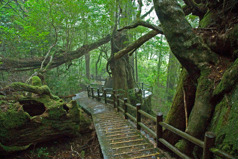Windy and wet bridge in Shiratani Unsuikyo in Yakushima, Japan