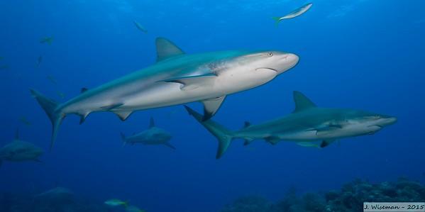 Bahamas Sharks - 2006