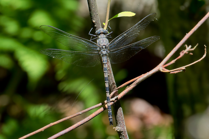 Male, Calvert Cliffs SP, MD