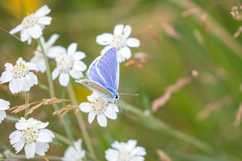 Common Blue on Sneezewort