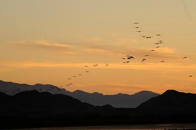Pelicans at Sunrise - Bahia de Los Angles 2420 - 300