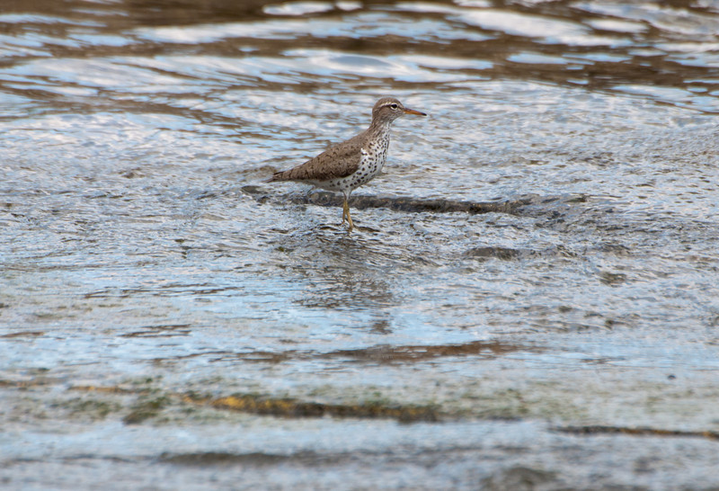 Spotted Sandpiper K4237a