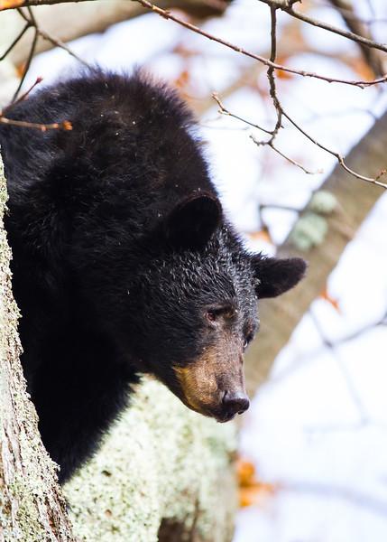 Virginia Bear
