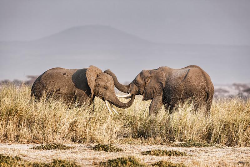 Elephants 0685.jpg