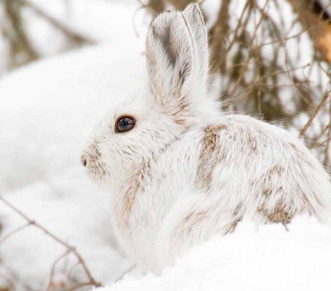 Snowshoe Hare Warren Nelson Memorial Bog Sax-Zim Bog MN IMG_0821.jpg