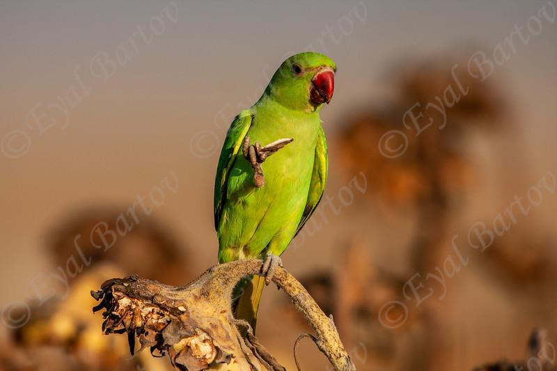 Rose-Ringed Parakeet (Psittacula krameri) דררה מצויה