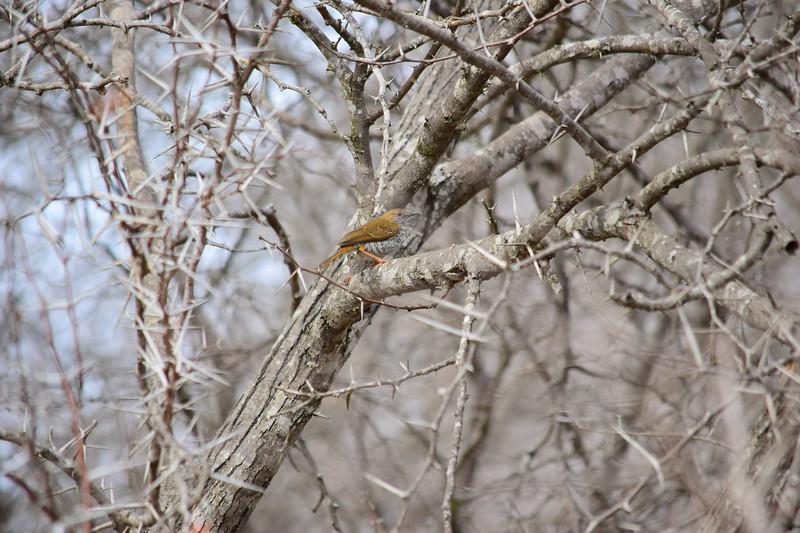 Stierling's Wren Warbler