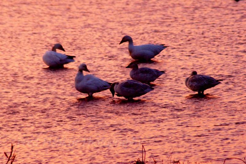 Snow Geese rest.jpg