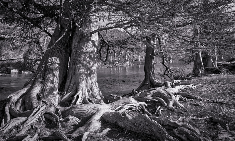 Bald Cypress Study (3 of 8).JPG