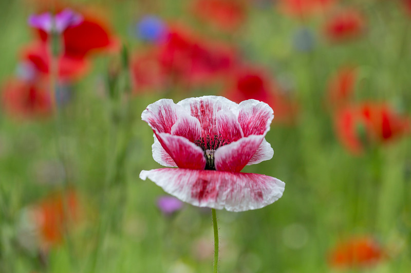 Red & White Poppy.jpg