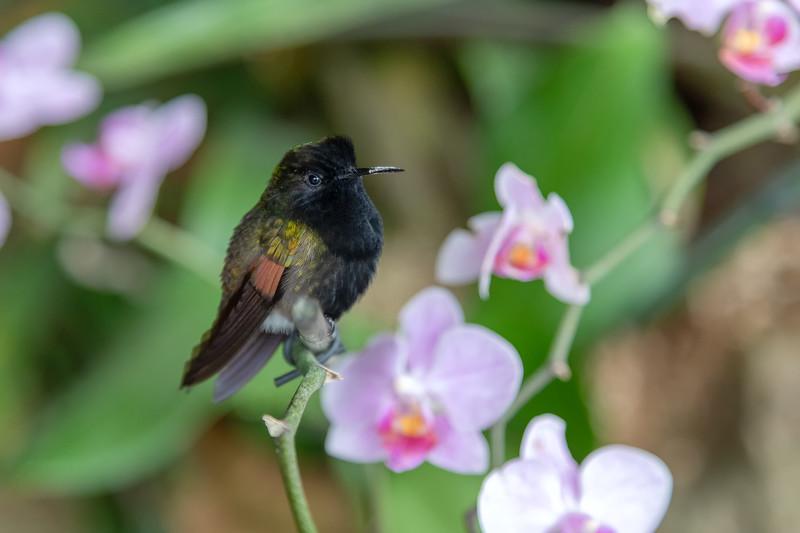 Black bellied hummingbird