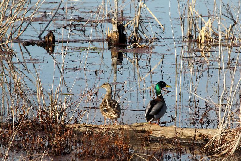 Mallard Ducks at Henricus Historical Park