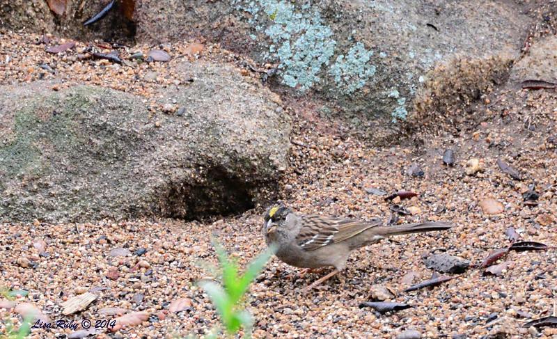 Golden-crowned Sparrow - 3/2/14 - Birding 100 San Diego Bird Festival