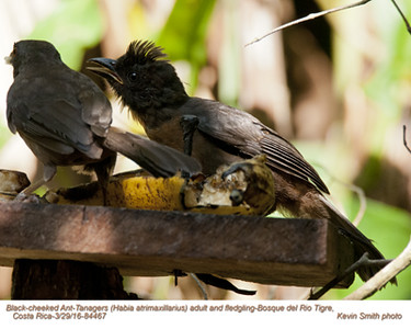 Black-cheeked Ant-Tanagers F&J84467.jpg