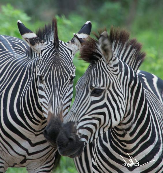 ZebraS-10.jpg