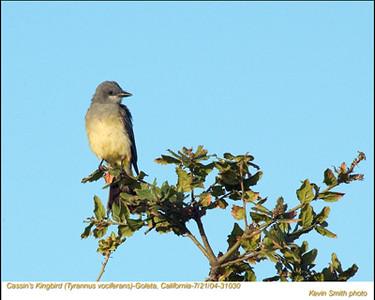 Cassin'sKingbird31030.jpg