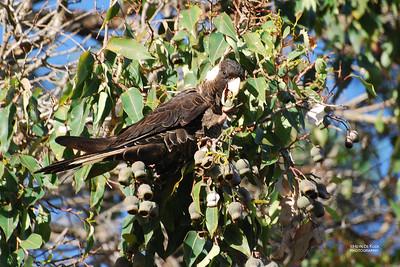 Baudin's Black Cockatoo (Calyptorhynchus baudinii)