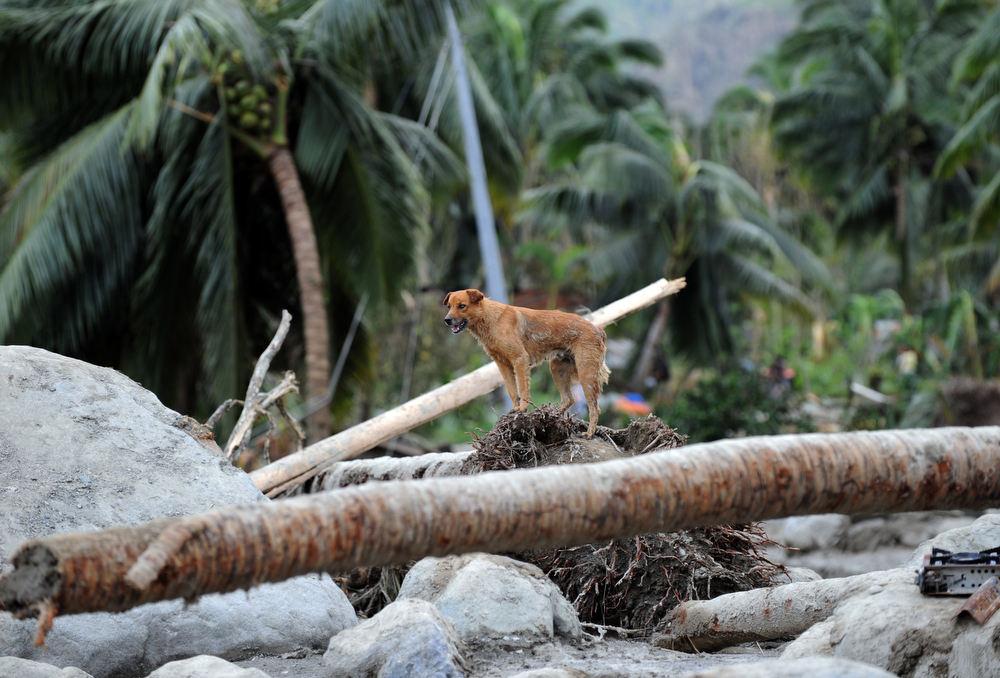 Description of . A dog stands on top of an uprooted coconut tree in the village of Andap, New Bataan town, Compostela Valley province on December 5, 2012, a day after Typhoon Bopha hit the province. At least 274 people have been killed and hundreds remain missing in the Philippines from the deadliest typhoon to hit the country this year, the civil defence chief said December 5.  TED ALJIBE/AFP/Getty Images
