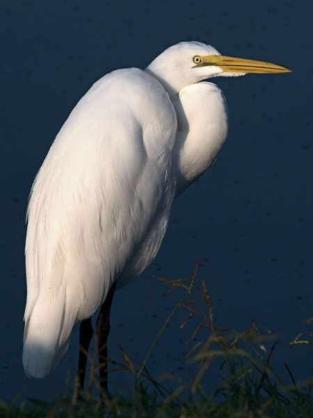 Great Egret -Morning Light2.jpg