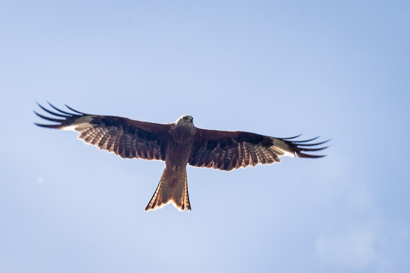 Red Kite Woodstock 2018 (003 of 009).jpg