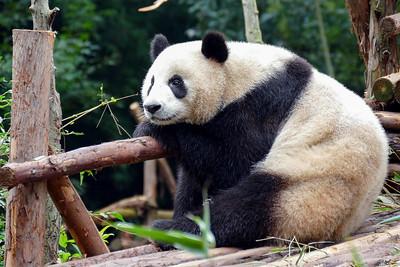 Giant Panda Base
