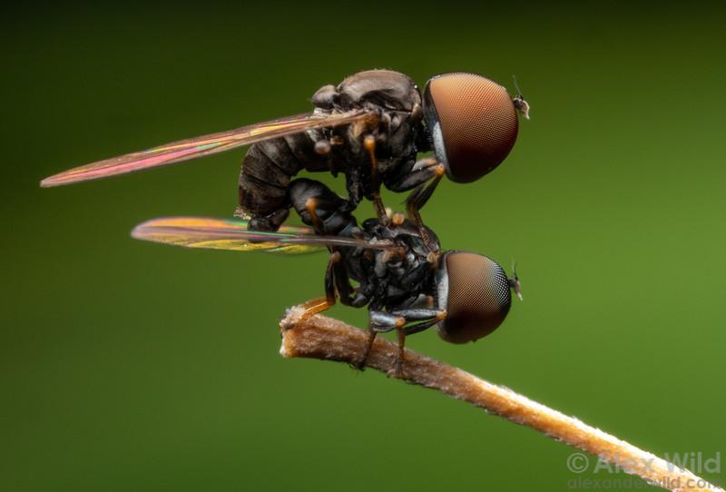 Pipunculidae