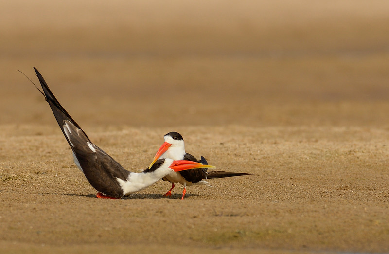 Indian-Skimmers-Courting-Display-Chambal.jpg