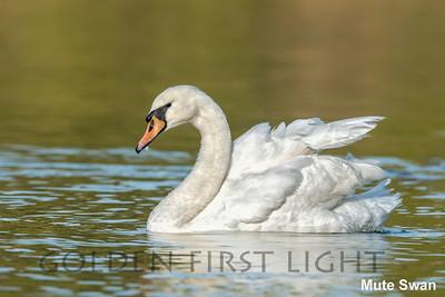 Mute Swan, Howarth Park, Santa Rosa CA, USA