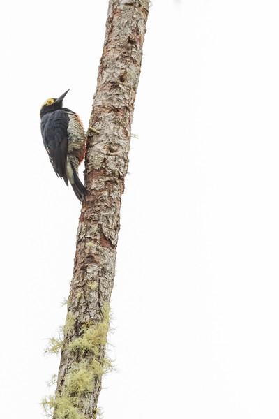 Yellow-tufted Woodpecker - Record - Sumaco, Ecuador