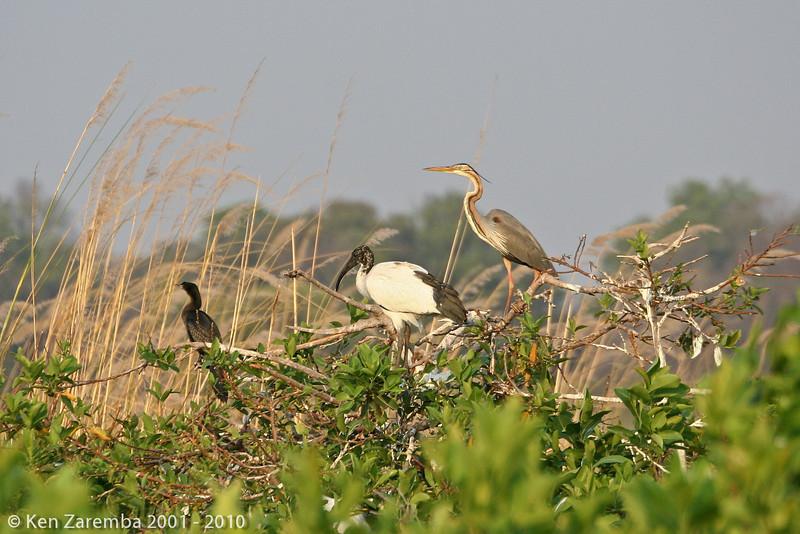 african darter, african sacred ibis, purple heron