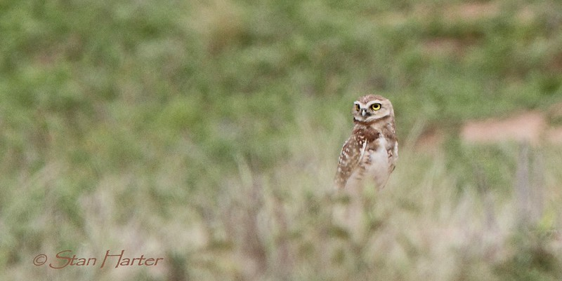 Kansas Burrowing Owl.jpg