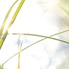 Blade of grass and sun reflections