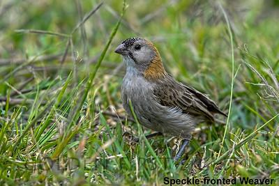 Speckle-fronted Weaver, Kenya