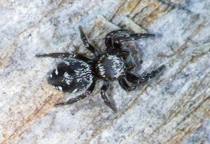 jumping spider Fringed Gentian Bog Sax-Zim Bog MN  IMG_0617.jpg