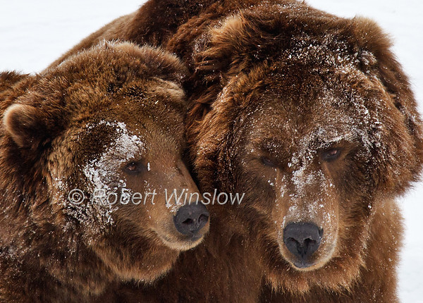 Bears - Grizzly Bears/Brown Bears