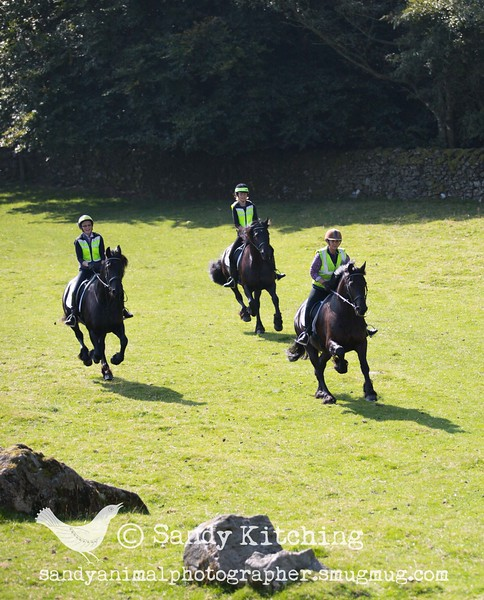 Friesian Hack Cartmel Sept 2015
