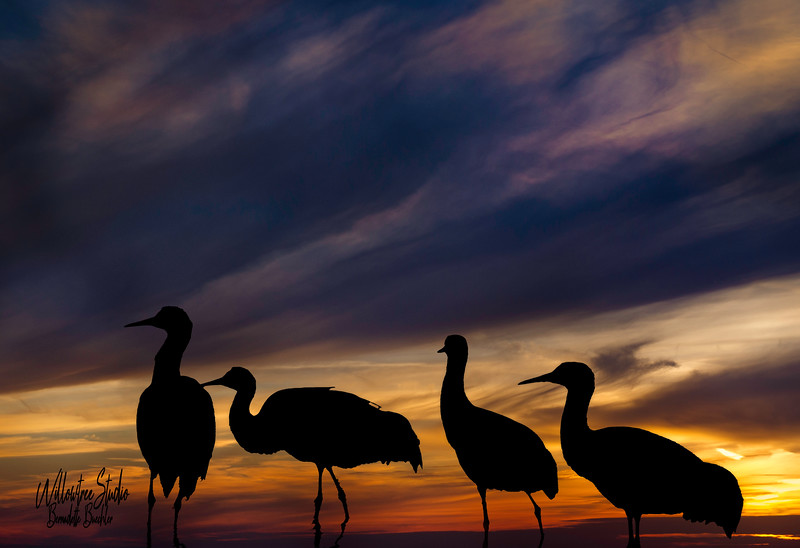 Cranes At Sunset_Bosque Apache National Park,New Mexico .jpg
