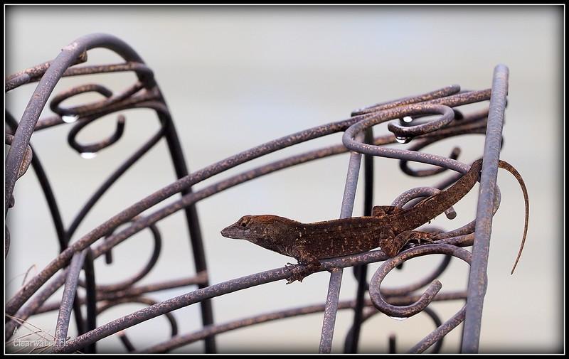 2015-09-29_P9290087_ anole lizard,Clearwater,Fl..JPG