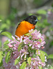 baltimore oriole male apple tree wejb _DSC6524