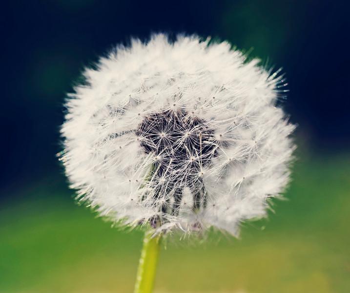 Dandelion in seadheds-caramel filter.jpg