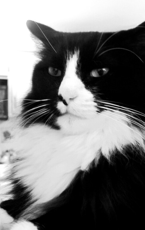 """. This undated publicity image provided by William Braden shows Henri, le Chat Noir, a cat who is featured in the video, \""""Henri 2, Paw de Deux.\"""" His portrait appears on his Facebook page and Twitter. Henri\'s first book is releasing in April 2013. (AP Photo/William Braden)"""
