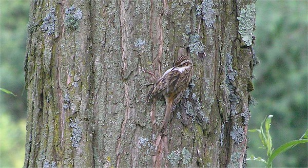 Nuthatches, Wallcreepers, Treecreepers